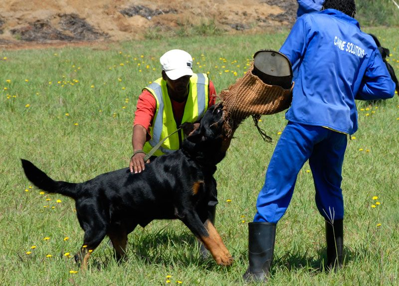 Simple Steps Of Attack Dog Training Dog Training Dog Quotes