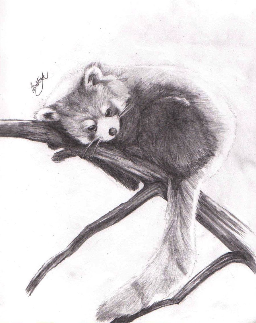 Red panda pencil drawing google search projects to try panda
