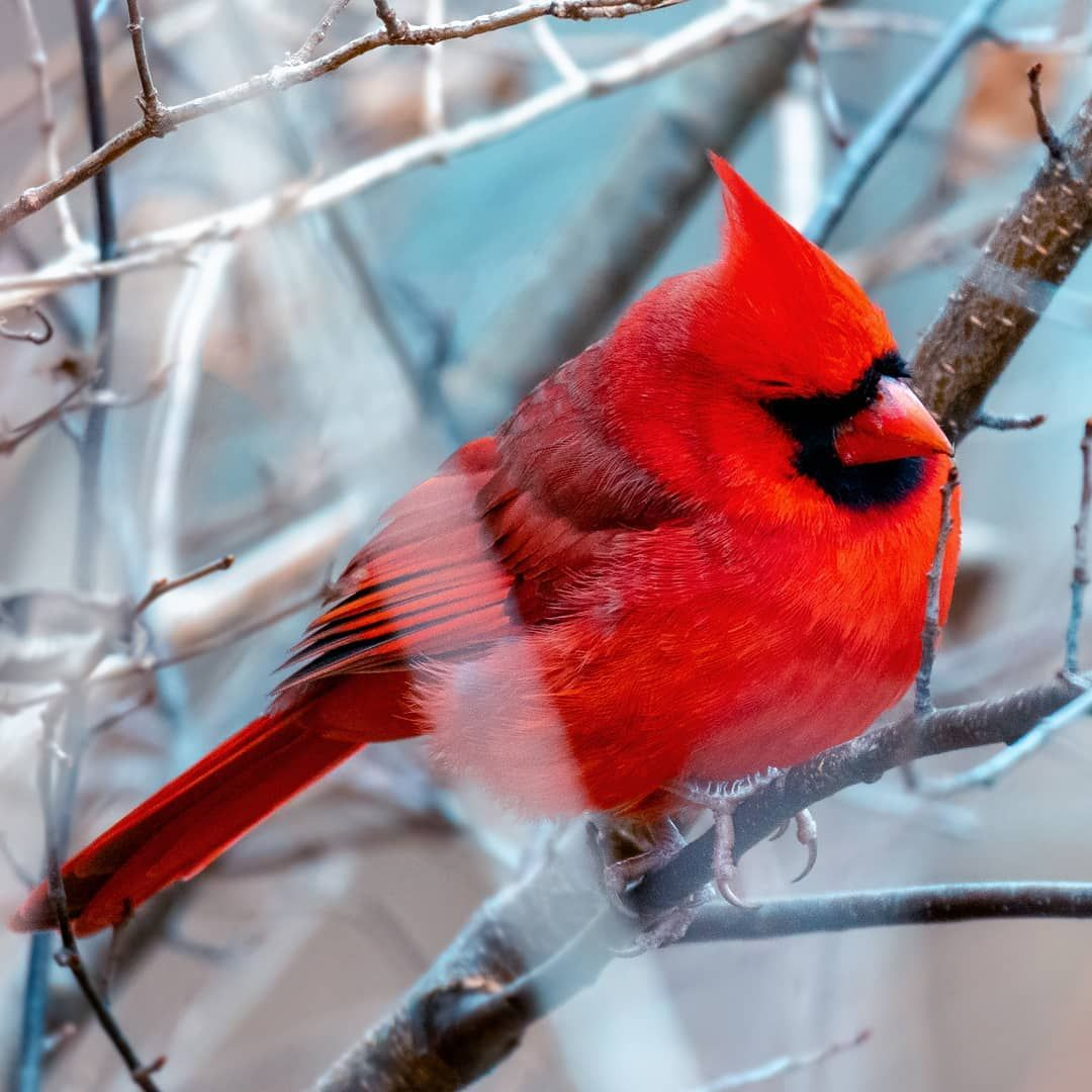 Park Art|My WordPress Blog_What Does A Northern Cardinal Sound Like