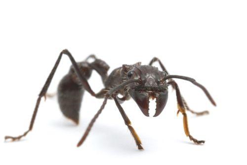 Paraponera clavata, BCI, Panama, Bullet ant