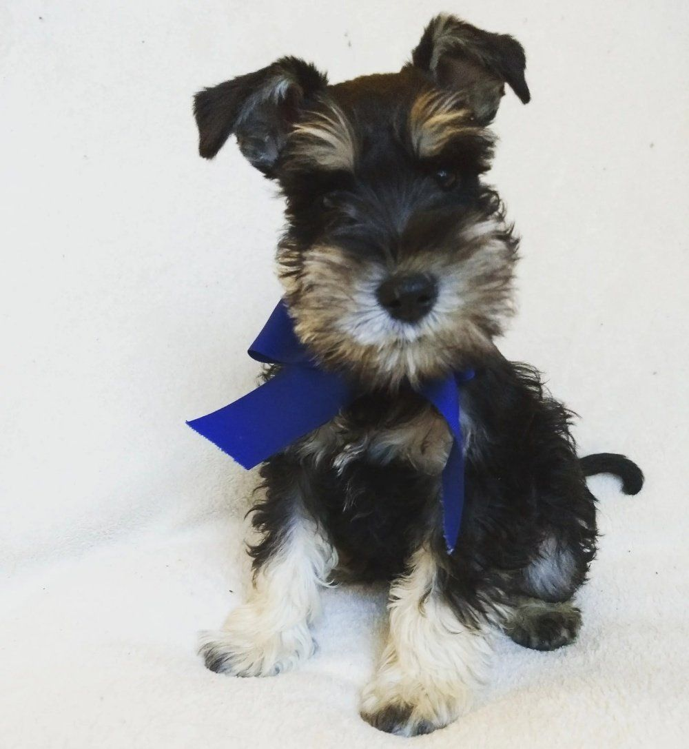 Beard And Brows Miniature Schnauzers In Ohio Find Your Miniature