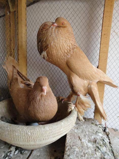 Pin By خليفة الغدير On Pigeon Fancy Pigeon Animals Birds