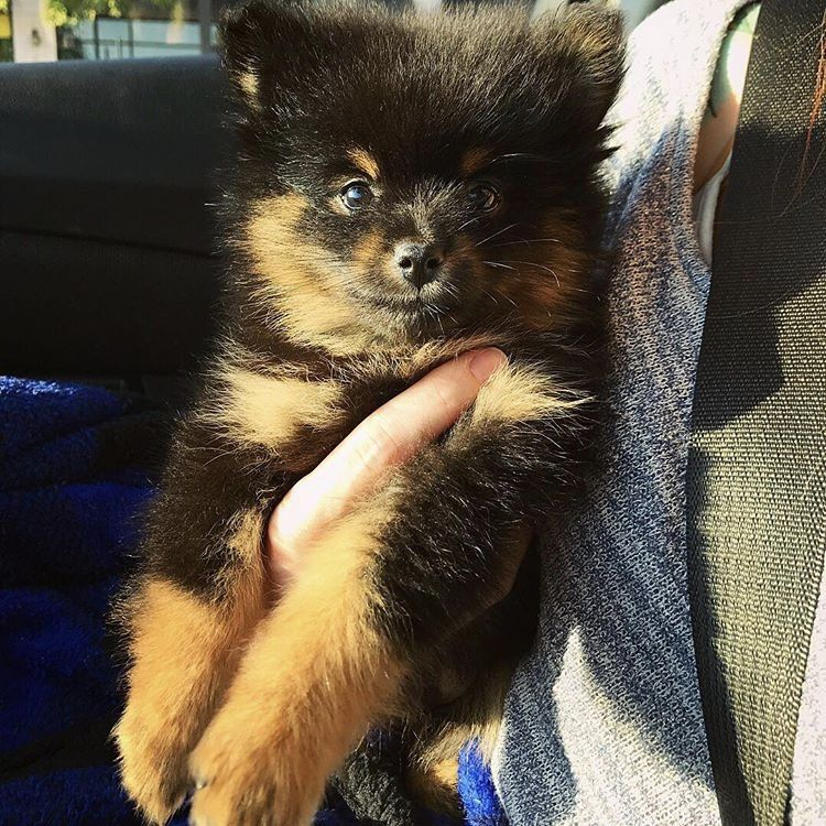 Pomeranian Puppy For Sale In Newport News Va Adn 49226 On