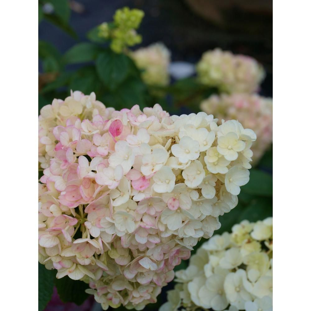 First editions 2 gal strawberry sundae hydrangea shrub