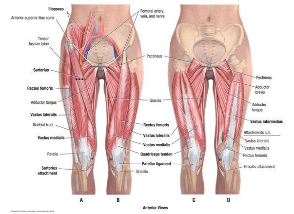 Vastus lateralis anatomy - www.anatomynote.com | Anatomy note world ...
