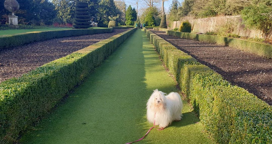 A Lovely Walk At Cliveden House Today Havaneseoftheworld Havaneseofinstagram Dogsofinstgram Bichonhavanese For See More Of Dogs Images Visit Us On Our Di 2020