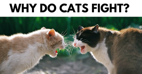 Why Do Cats Fight? Blague animaux, Images drôles, Images
