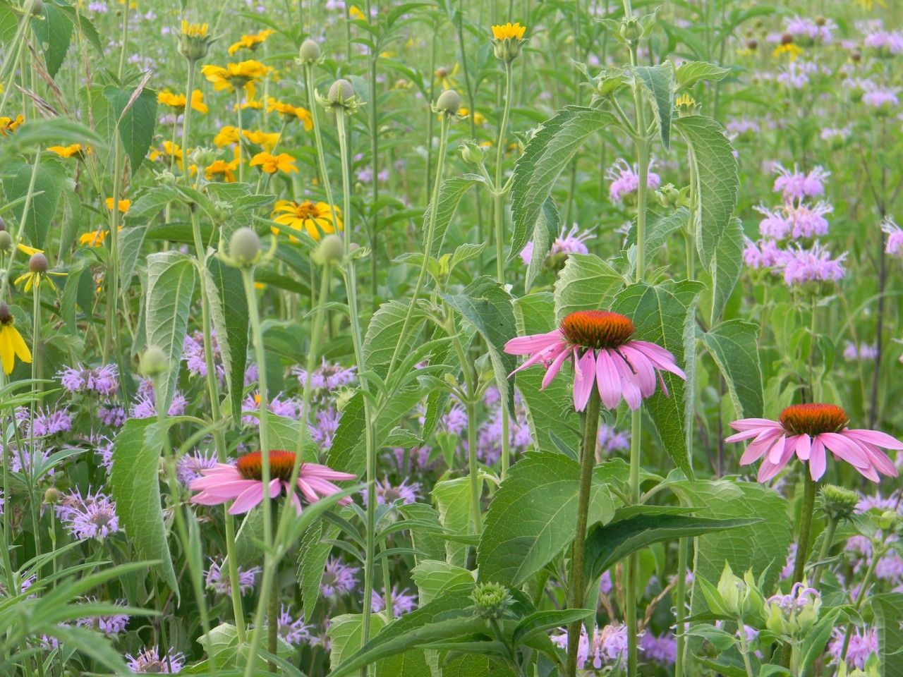 GRAND MEADOW MESIC SITE SEED MIX Native Wildflower Seeds