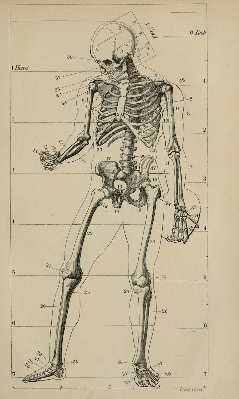"nemfrog: "" Anatomy for artists. A handbook of pictorial art. 1921 ..."