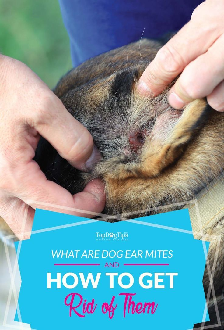 What Are Dog Ear Mites and How to Get Rid of Them ... Ear Mites In Dogs