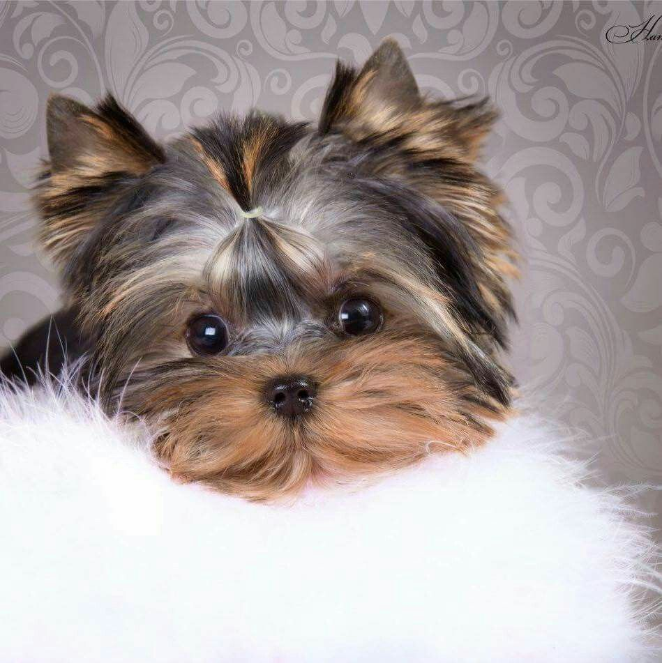 Pin by Debi Baker on Cute Pictures Yorkie puppy, Teacup