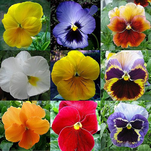 Nine Pansies Pansies Flowers Pansies Flowers