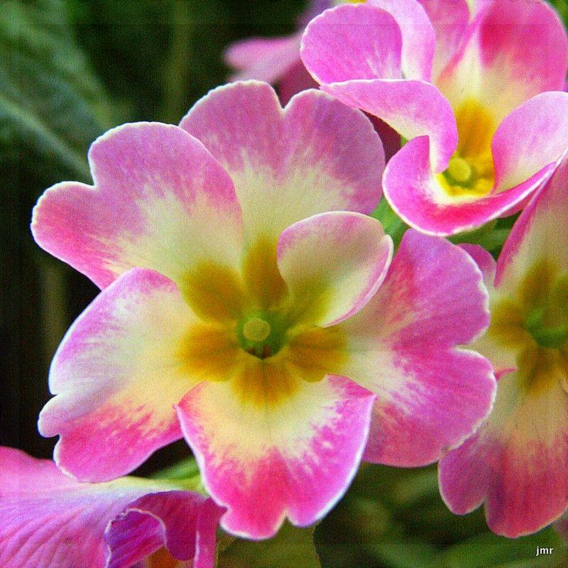birth flower korea february