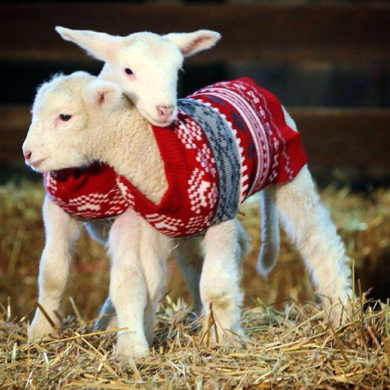 Weihnachten Schaf