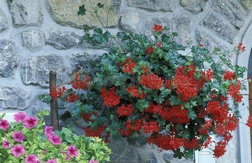 Pelargonium Peltatum Balcon Royal Geraniums Red Pelargonium