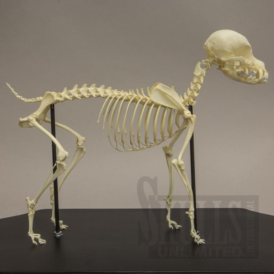 Domestic Dog Skeleton - Chihuahua (Canis familiaris) | WOK-4171 ...