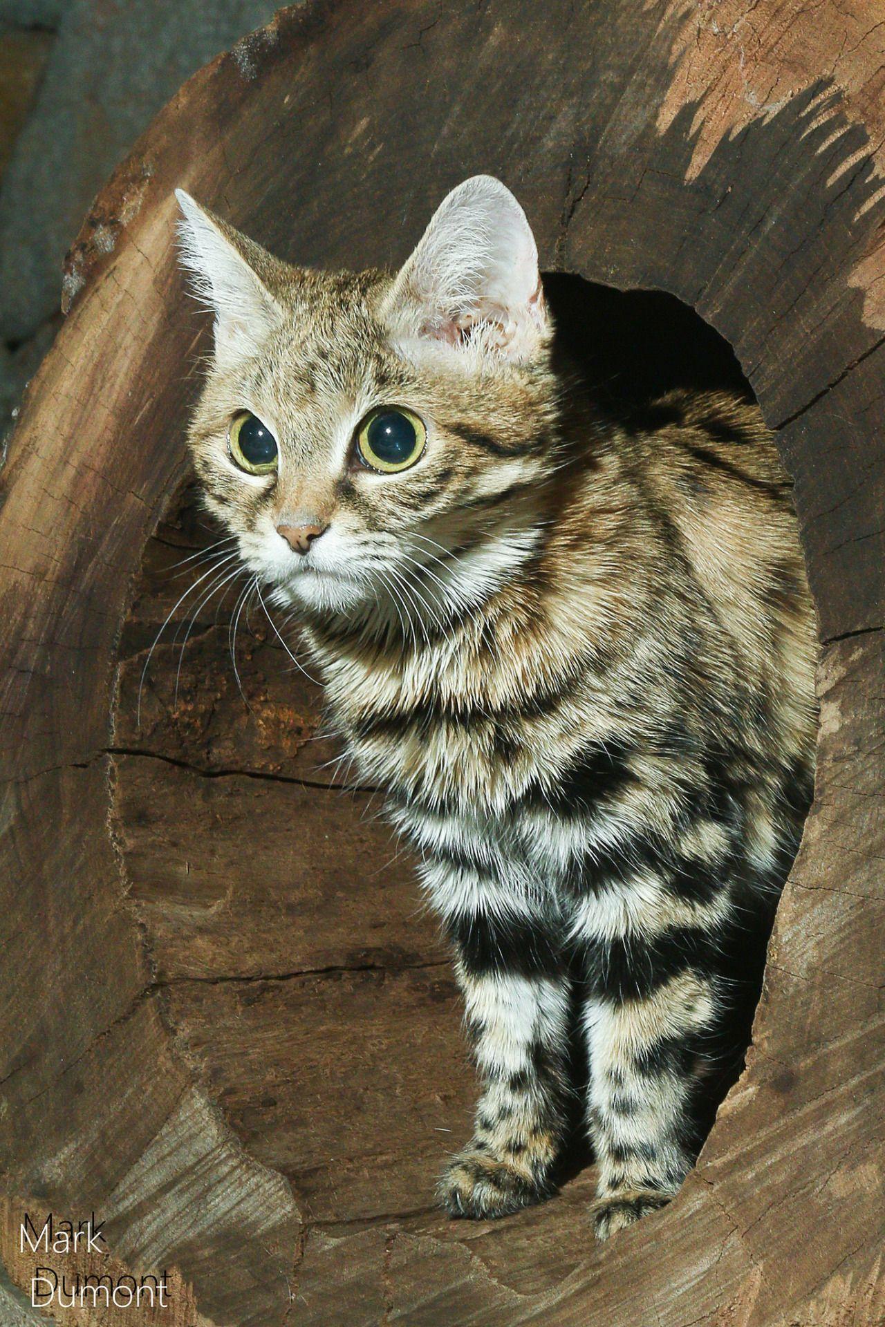 Magicalnaturetour Small Wild Cats Cute Animals Wild Cats