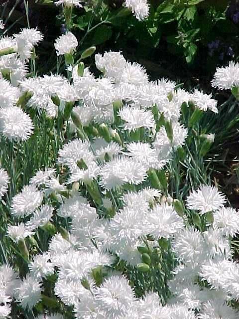 Dianthus plumarius 'Itsaul White'