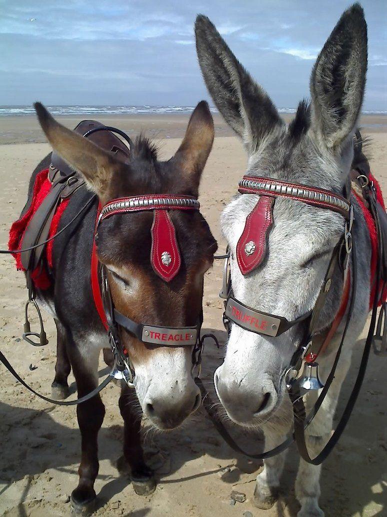 Beach donkeys