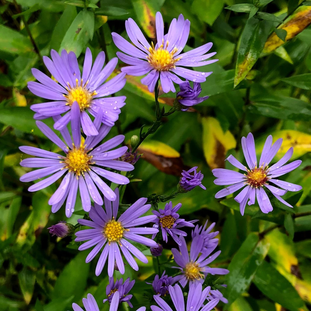 Asters Smooth Blue Aster Symphyotrichum Laeve Wild Seed Butterfly Garden Aster