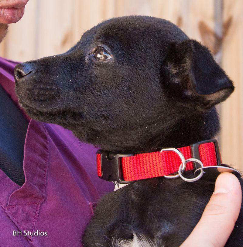 Petfinder Adoptable Dog Labrador Retriever Houston