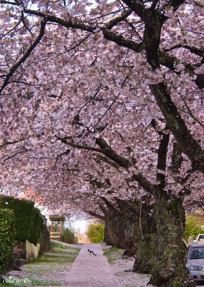 Scenes Of Sakura Plum And Cherry Blossoms Of Vancouver Canada Photo Randall St Germain