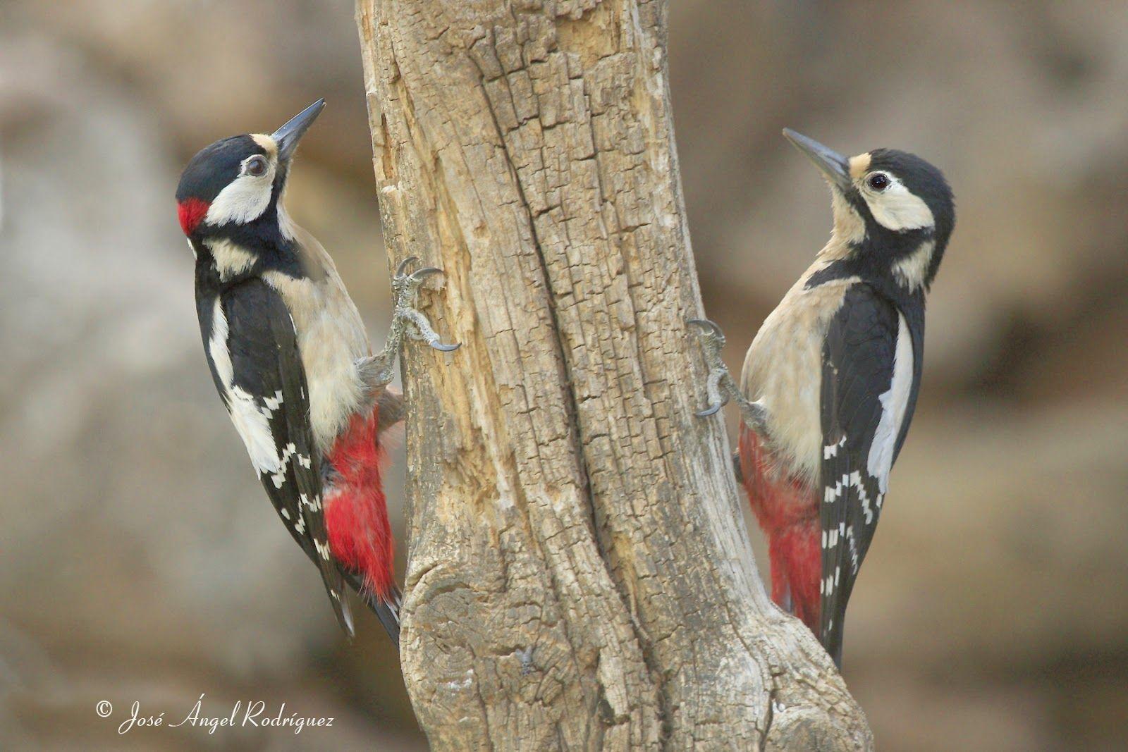 Pájaros carpinteros   SERES ESPECIALES   Pinterest   Pájaro ...
