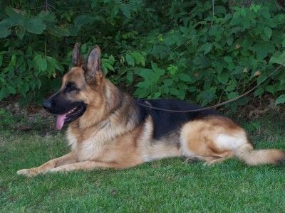 Stud Males Kolenda Kennels German Shepherd Breeders