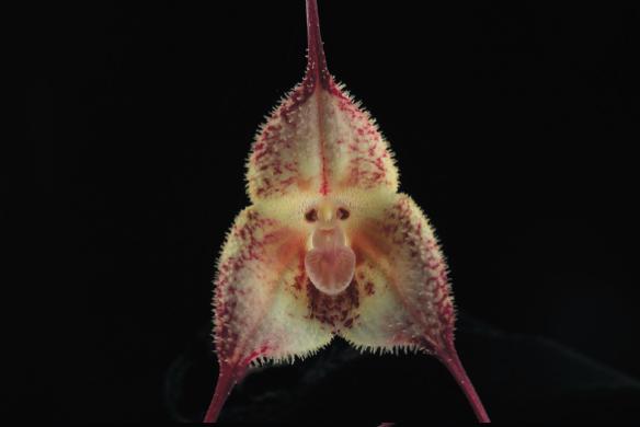 "faszinierende Fotografie der Sorte Dracula circe - Catherine Vadon: ""Mythos Orchideen"""