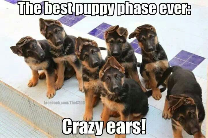 8 Proofs That Puppy Ears Are The Best Thing Ever German Shepherd