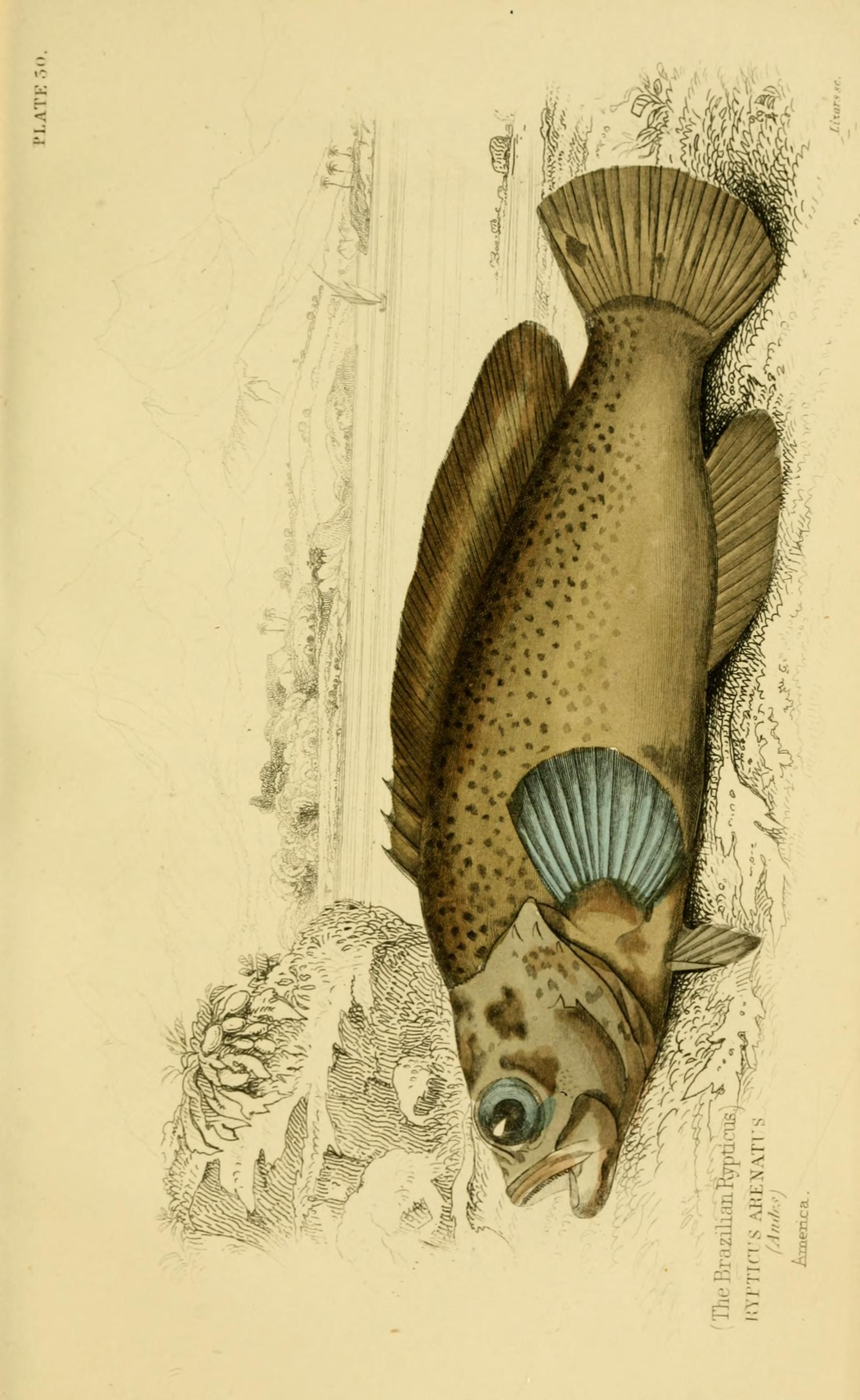 v. 38: Ichthyology v. 4 (Fishes of the Perch Family) - Ichthyology ...