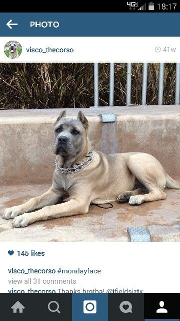 Formentino Cane Corso Want One So Bad I Should Be Getting A Solid