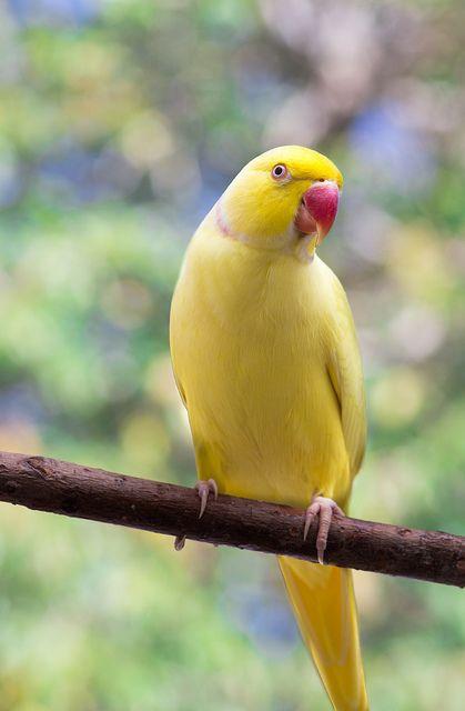 Lutino Indian Ringneck By Vindemiatrixx Via Flickr Bird Parrot Colorful Birds Pretty Birds