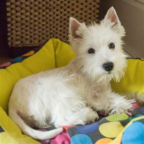 Pin By Nancy Vazquez On Westie Likes Old New Westie Puppies