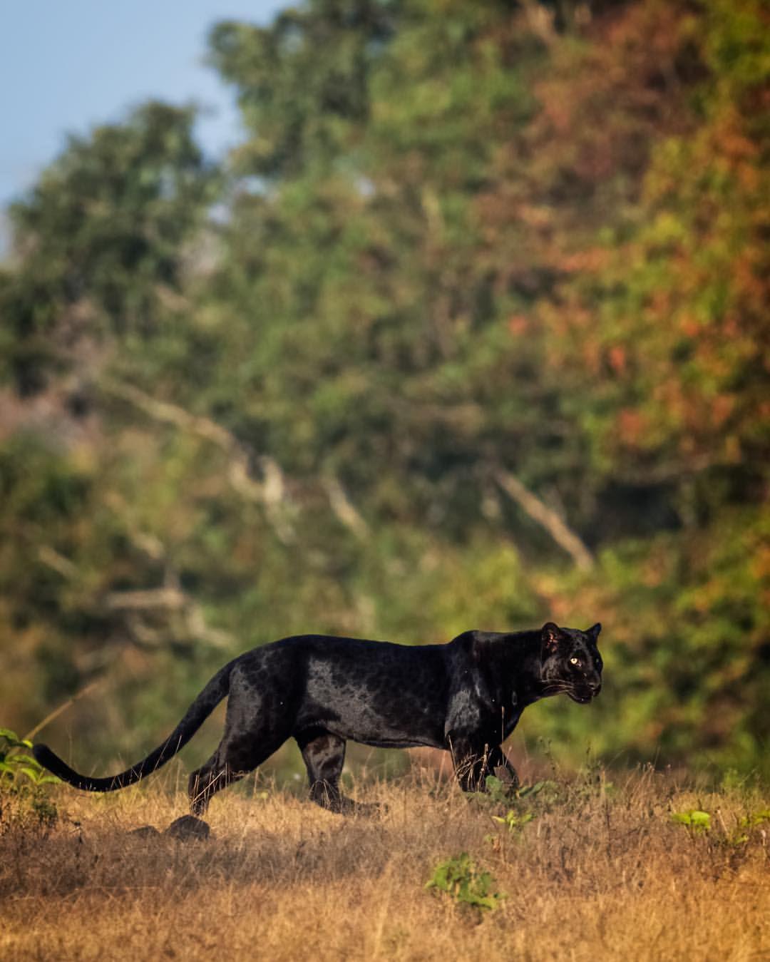 фото с пантерой на природе разработчики