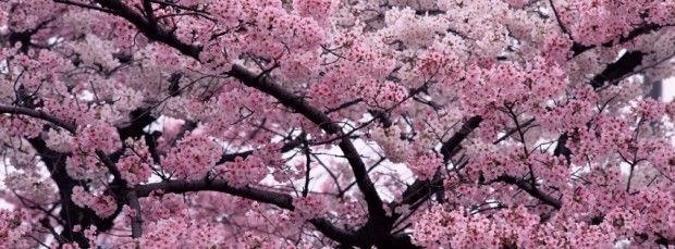 Beautiful Facebook Covers Facebook Covers Fb Cover Facebook Timeline Profile Covers Blossom Trees Cherry Blossom Tree Flower Landscape