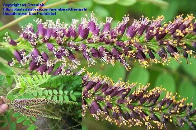 Image result for Amorpha fruticosa false indigo