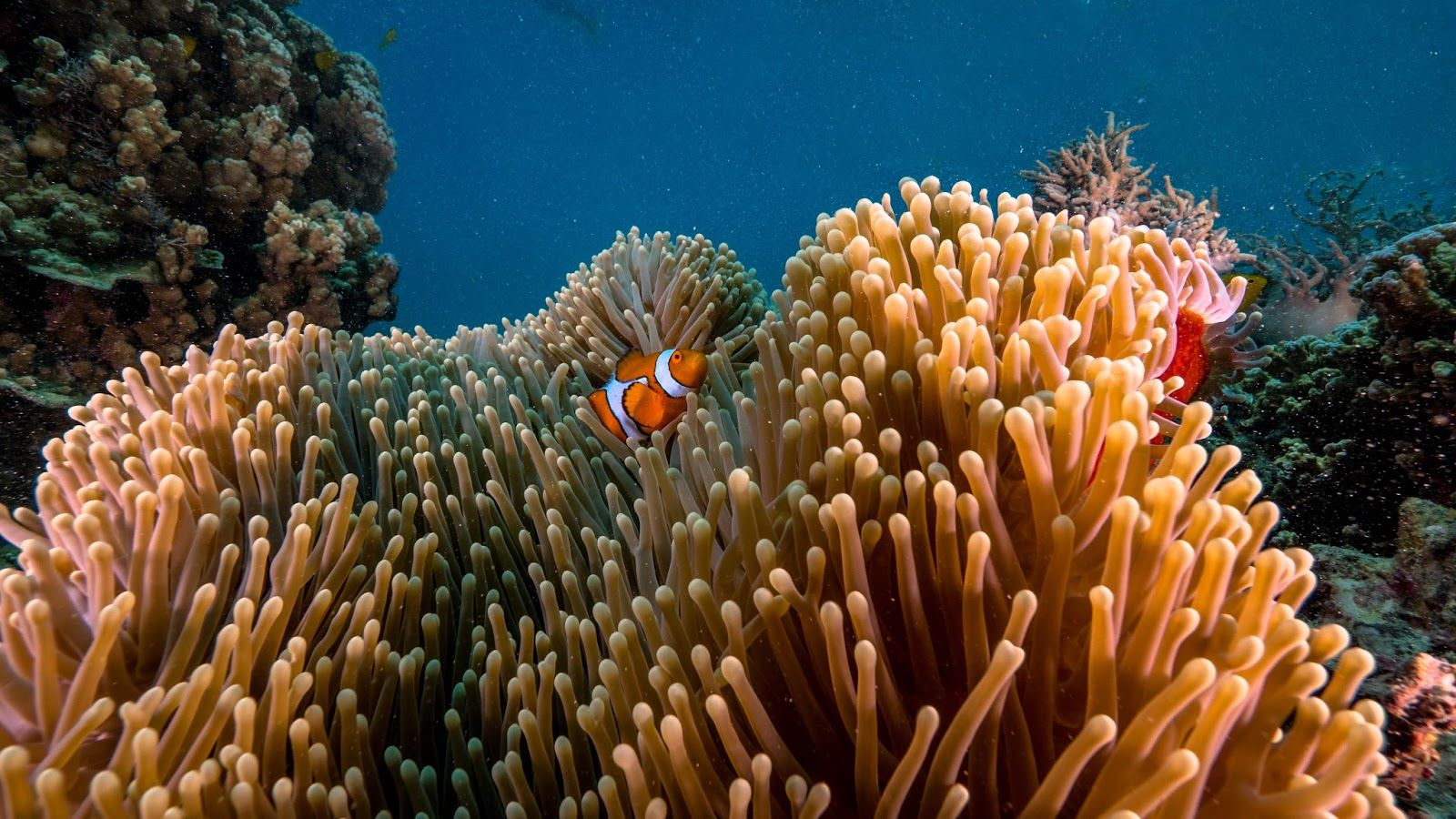Some Nemo Clownfishes at the Great Barrier Reef in Australia 😍