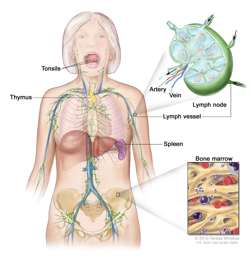 Lymph system; drawing shows the lymph vessels and lymph organs ...