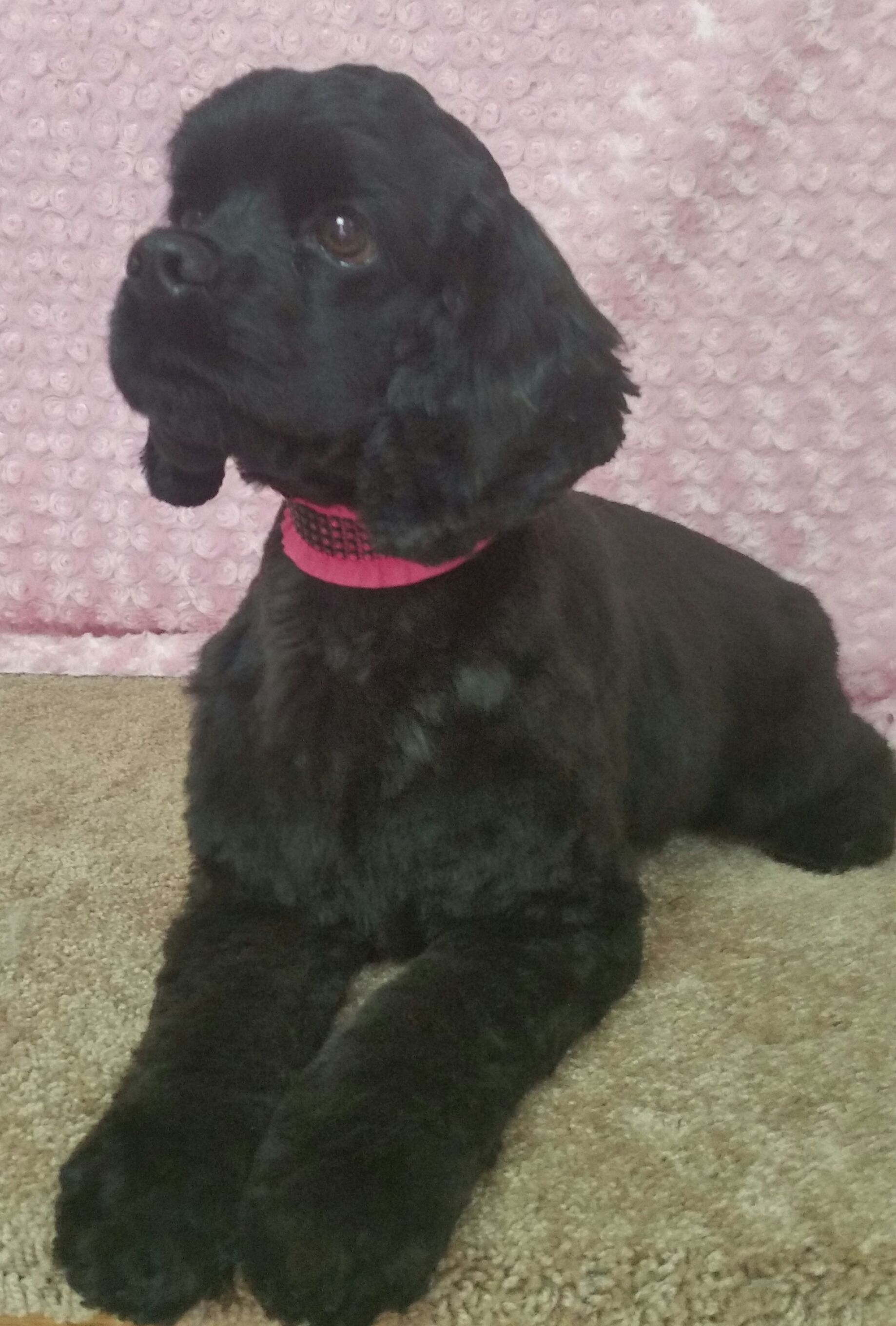Miss Daisy Cocker Spaniel Groomed By Shag To Swag Dog Spa Plymouth Mn