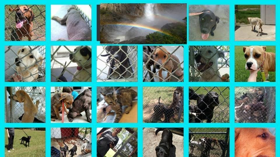 After agreeing that no more euthaniztions would take place and adoption would be encouraged and allowed they have gone back on their word. The Dept. of Agriculture officer has instructed that when AC reaches the 40 dogs limit the killing will begin again.