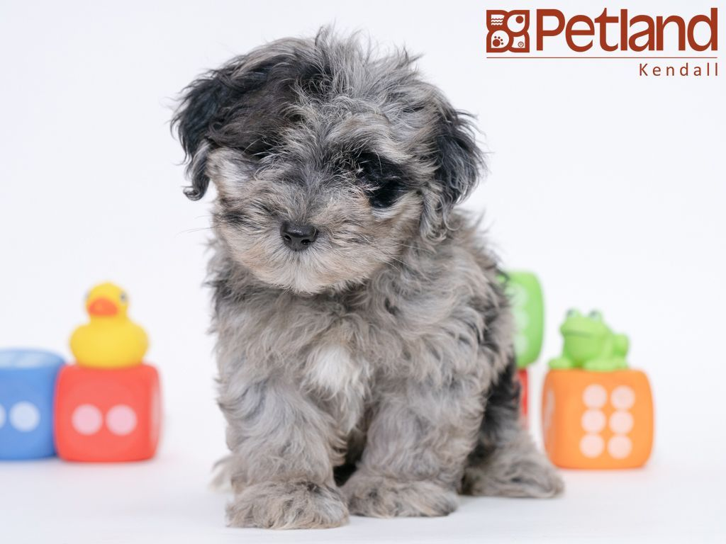 Petland Florida Has Yorkipoo Puppies For Sale Check Out All Our Available Puppies Yorkipoo Petlandkendall Petland Petla Puppy Friends Yorkie Poo Puppies