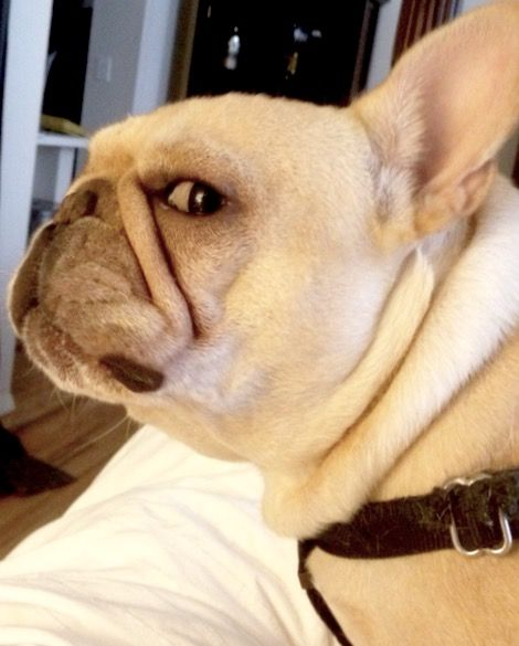 Classic French Bulldog Side Eye French Bulldog