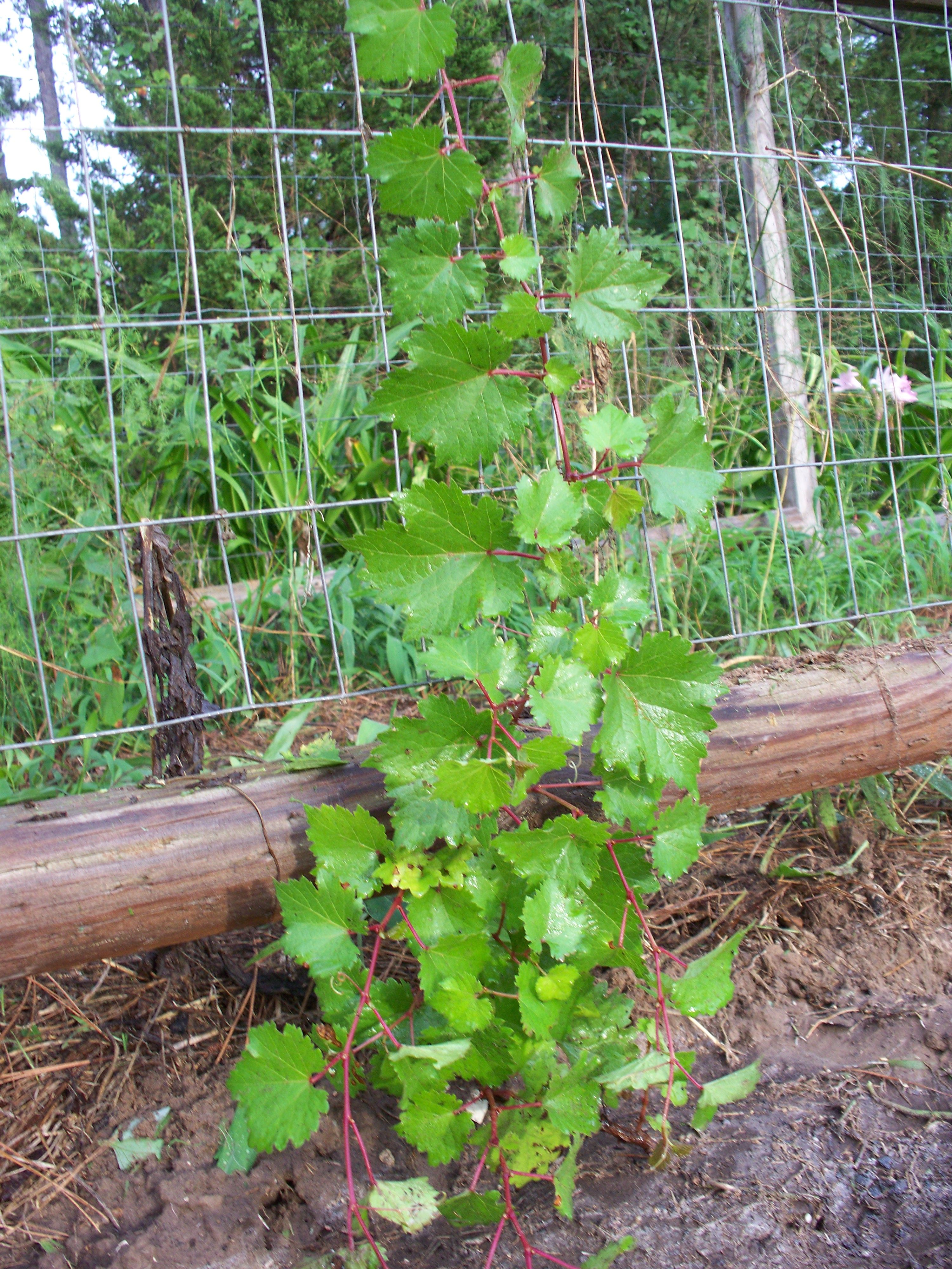 These Are My Kyoho Grape Plants That I Grew From Seed Grape