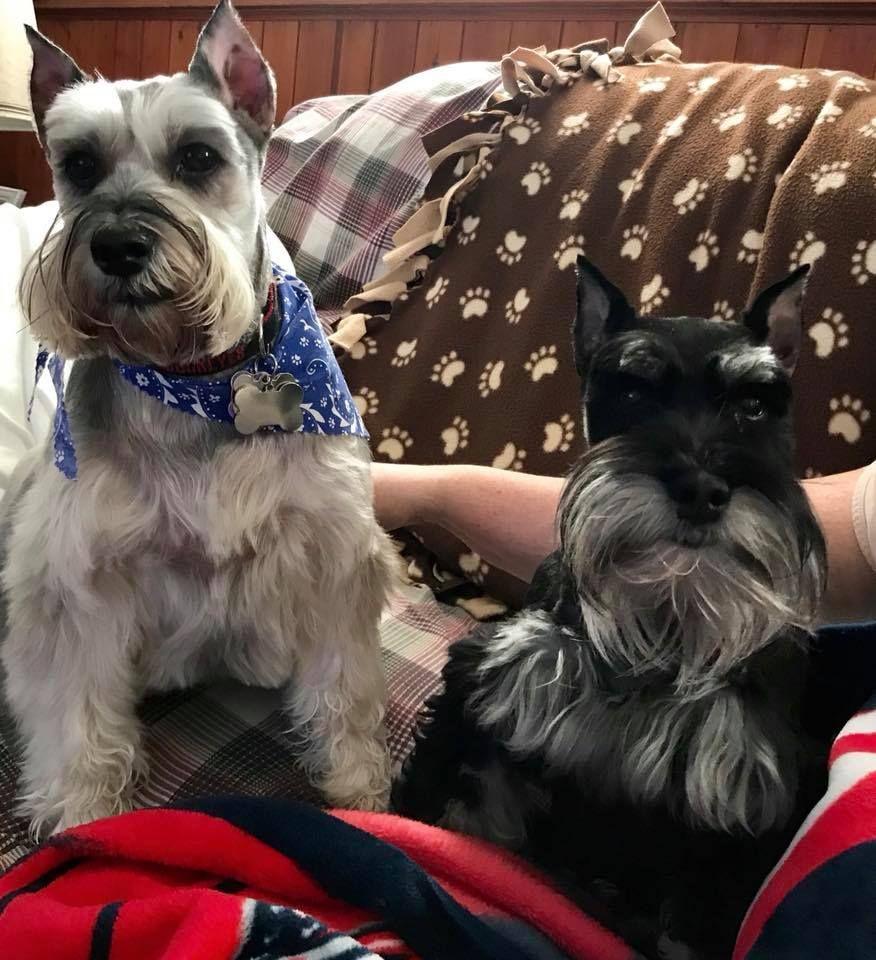 Carlo and Rain in Ohio Miniature schnauzer puppies, Mini