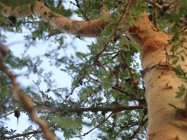 Acacias are the favourite food for giraffes - don't try at home, they are really thorny