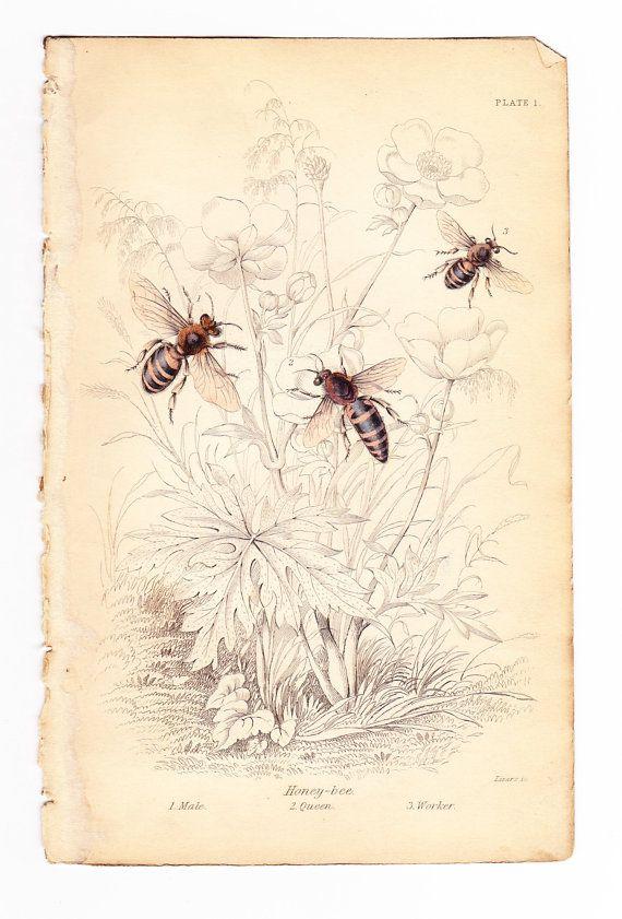 Antique Vintage Honey Bee Print Dated 1840 Male Queen Worker