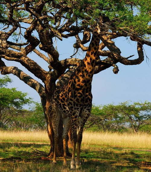 Image result for giraffe camouflage
