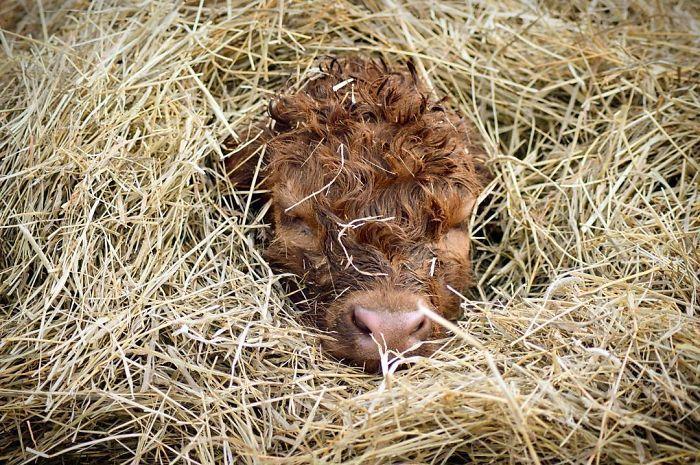 vitelli Highlander teneri