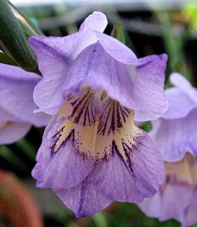 Gladiolus carinatus